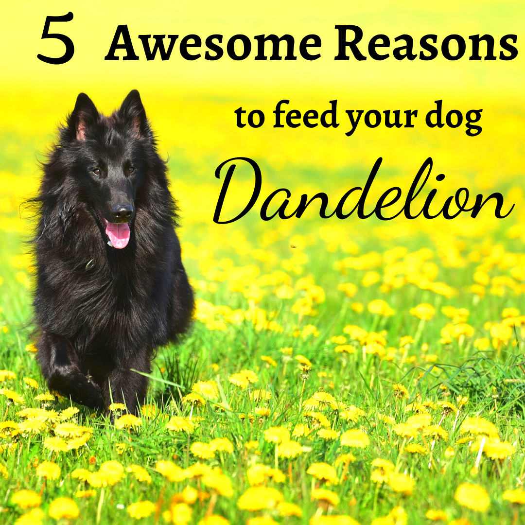 My Dog Just Ate A Dandelion Are Dandelions Toxic To Dogs